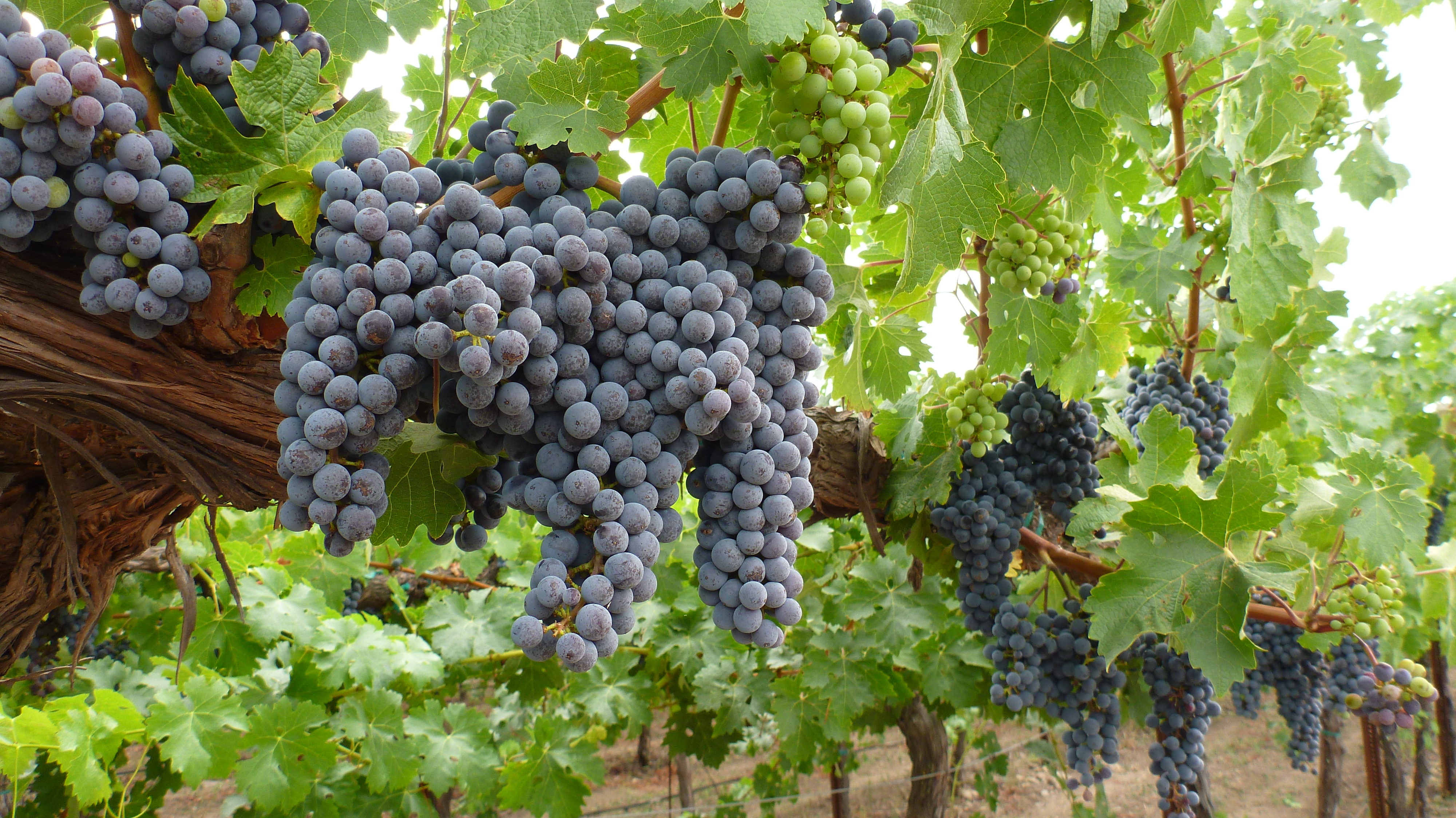Sonoma Valley I Heard It Through The Grapevine on Windy Days Clipart